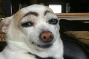 dog sourcils